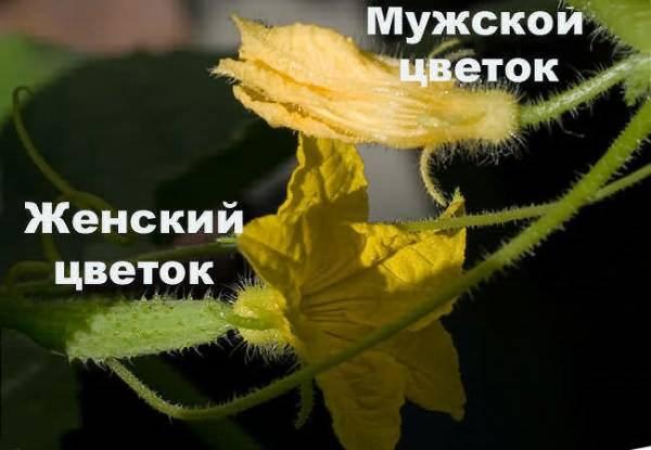 Почему у огурца только женские завязи? / асиенда.ру