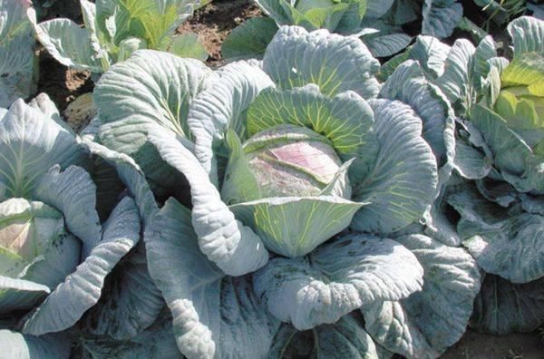 Капуста амагер: описание и характеристика сорта, выращивание с фото