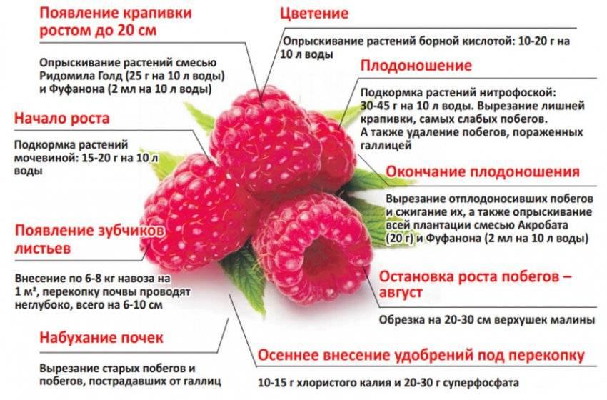 Обработка малины от болезней и вредителей: причины и симптомы