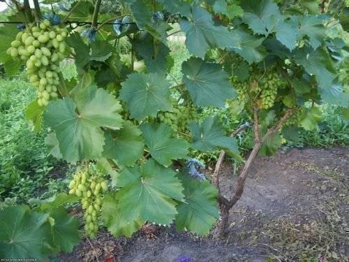 Виноград элегант: описание сорта, фото и отзывы садоводов