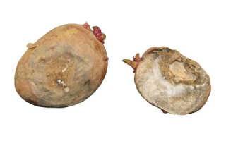 Гниль сухая клубней картофеля | справочник пестициды.ru