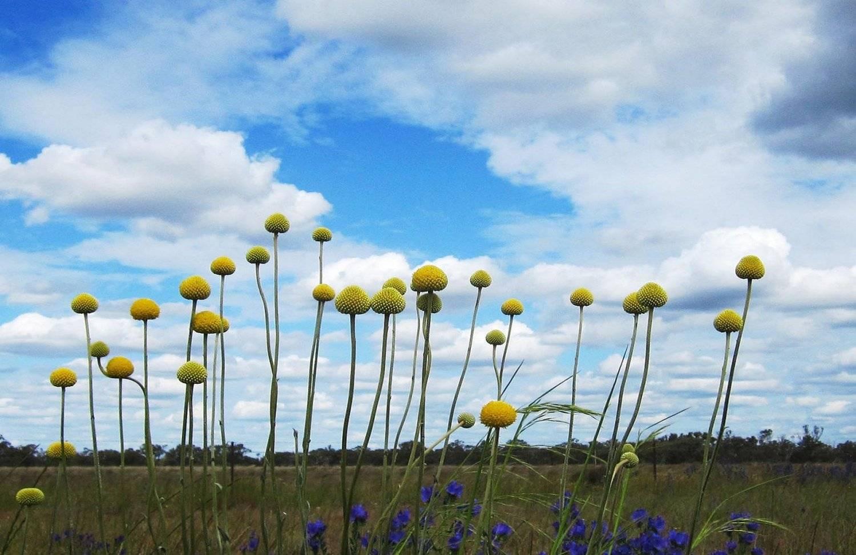Краспедия: фото, виды, выращивание из семян | спутниковые технологии