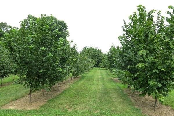 Правила посадки и выращивания фундука или лещины