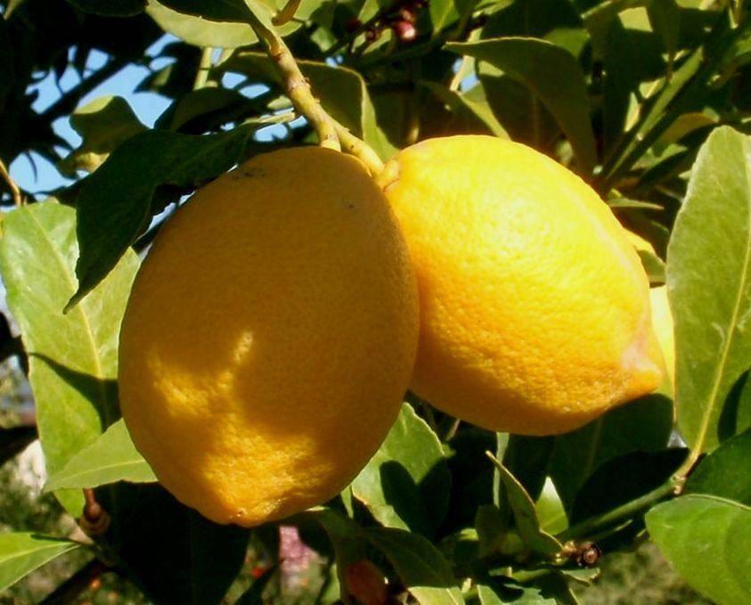 Виды и сорта комнатных лимонов с фото: павловские, мейера, китайские, юбилейный, дженоа, лисбон