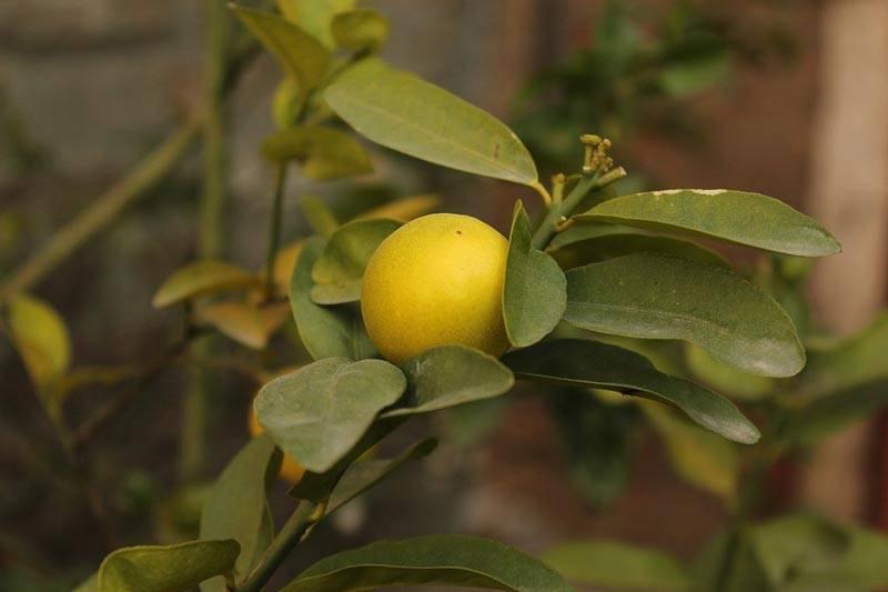 Как вырастить лимон в домашних условиях из косточки, в том числе с плодами, инструкция по выращиванию дома