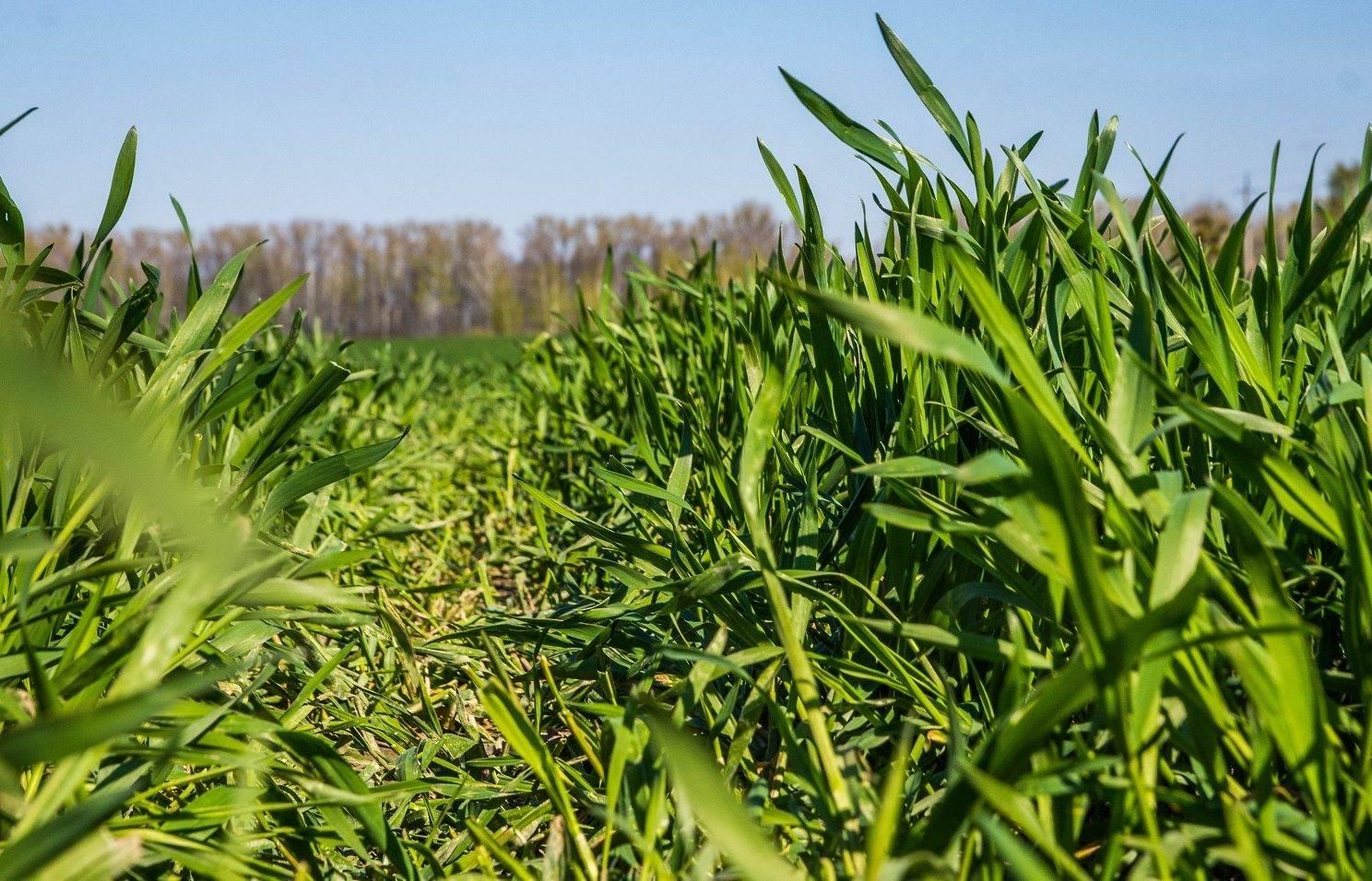 Посев пшеницы озимых сортов: советы, правила выращивания