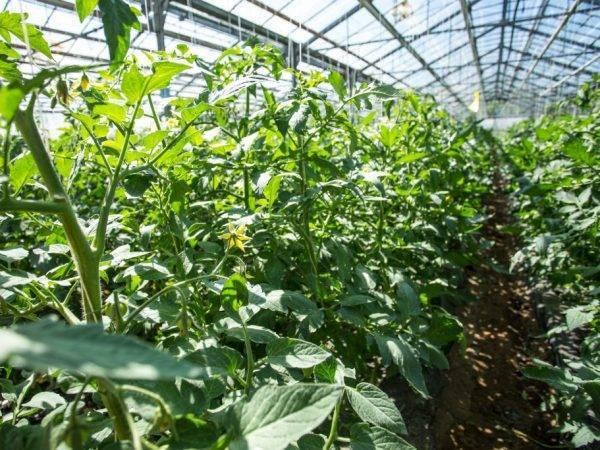 Помидоры жируют в теплице - что делать, как исправить, и как понять, что томаты жируют?