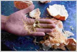 Грейпфрут это гибрид чего с чем, фото как выглядят плоды и деревья, где растет фрукт