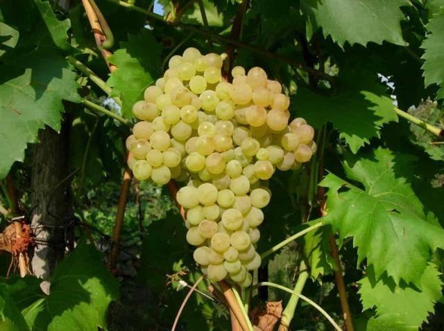Сорт винограда ланселот — описание отзывы характеристики - сорта винограда, столовые | описание, советы, отзывы, фото и видео