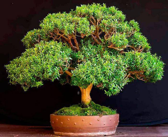 Миртовое дерево — чем полезен мирт в квартире - pocvetam.ru