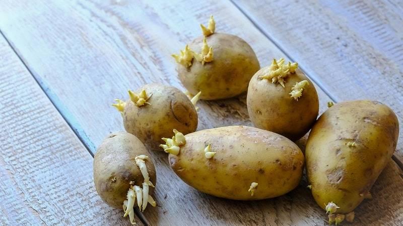 Проращивания картофеля перед посадкой - сроки и как правильно делать