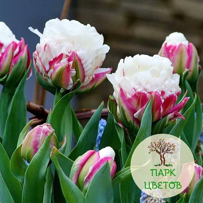 """Тюльпаны пломбир - описание сорта и фото """"мороженого"""""""
