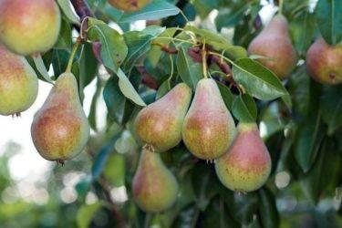 Груши для сибири: вкусные зимостойкие сорта (сибирская, таежная и другие), характеристика и описание, особенности посадки и ухода, беспроблемное выращивание