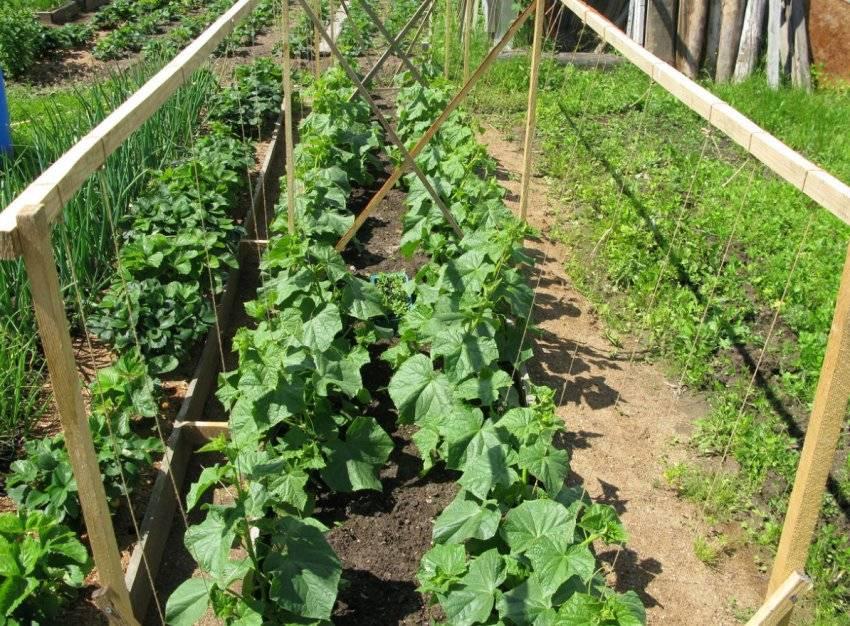 Выращивание огурцов в открытом грунте на шпалере. секреты выращивания от посева семян до сбора урожая