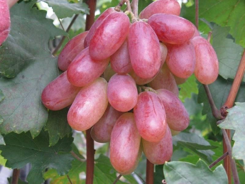 Виноград сорта фаворит- какими особенностями обладает