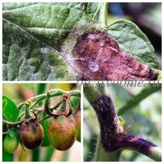 Фитофтора – борьба и обработка, средства от фитофтороза - огород, сад, балкон - медиаплатформа миртесен