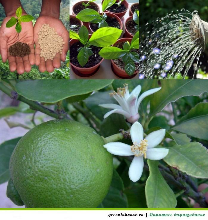 Лайм в домашних условиях: уход, выращивание, фото