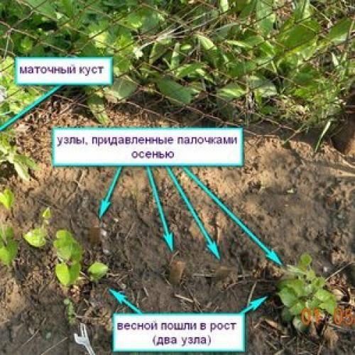 Как размножить клематис? размножение отводками весной и летом в домашних условиях. как укоренить в воде и рассадить?