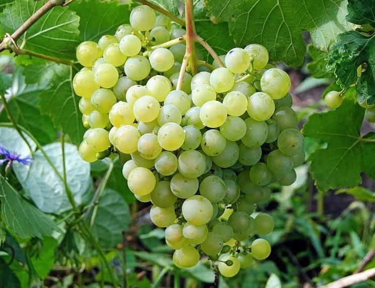 Саженцы винограда | блог игоря заики о виноградарстве и авторском виноделии