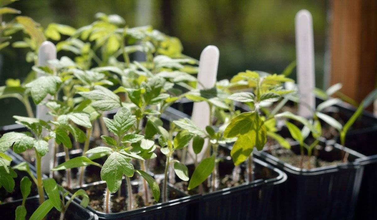 Как посеять помидоры на рассаду в туалетной бумаге – без земли, правильно, с пошаговым фото, видео