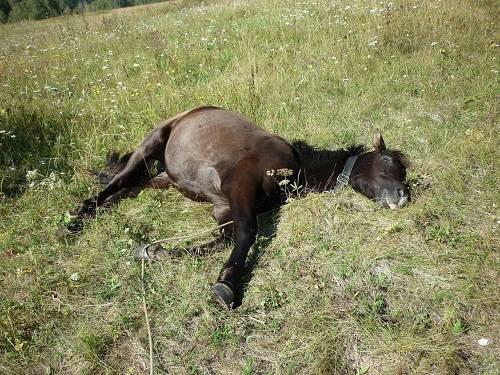 Как спят лошади: стоя или лежа - узнаем все секреты как спят лошади: стоя или лежа - узнаем все секреты