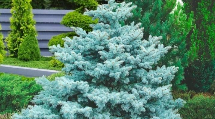 Голубые ели (49 фото): особенности посадки и ухода за колючей елью. как размножить ель семенами? описание ели, сорта и болезни