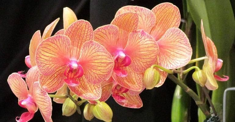 Удивительные творения природы — мини-орхидеи. обзор видов и сортов, рекомендации по выращиванию