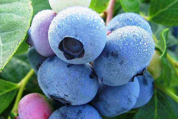 Распространенные болезни садовой голубики и борьба с ними