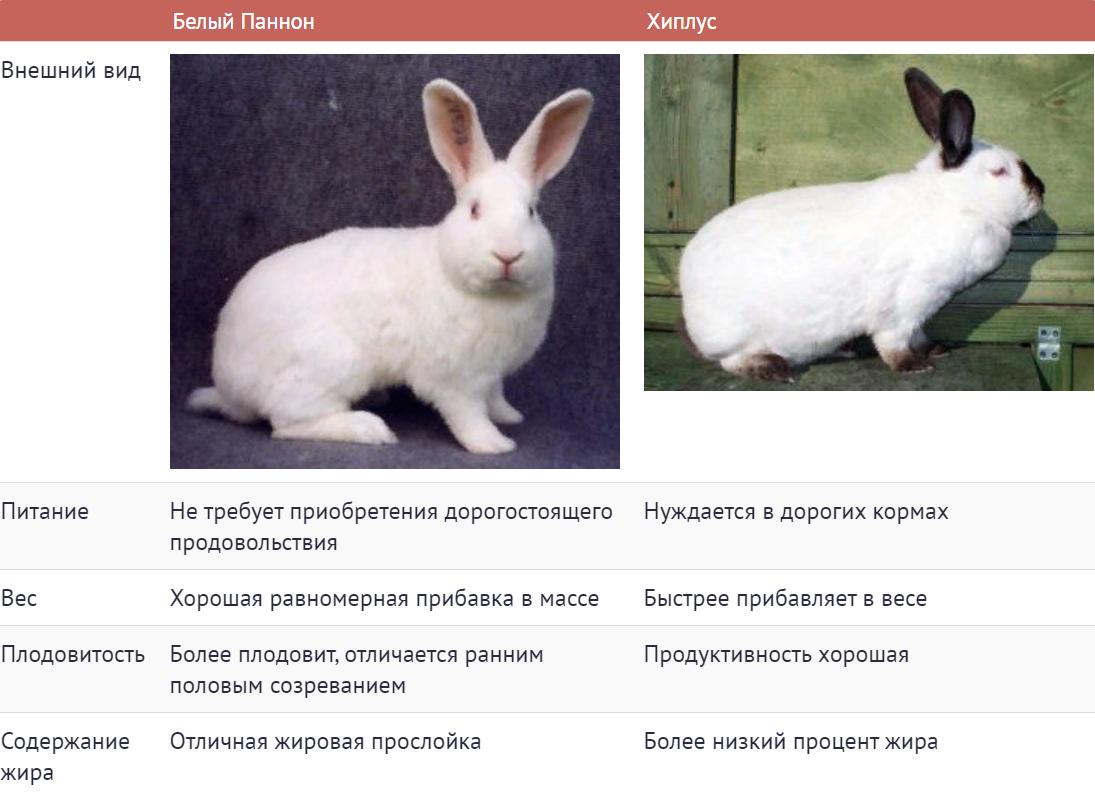 Кролик белый паннон: характеристика и описание породы, фото, особенности содержания
