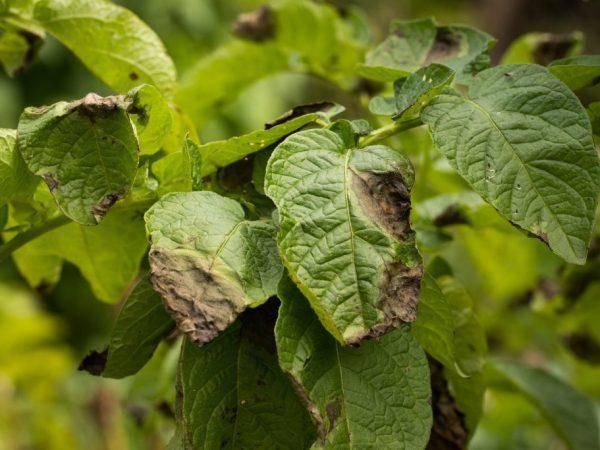 У картофеля скручиваются листья: причины, что делать, как лечить