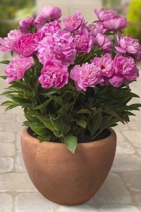 Пионы (74 фото): посадка красивых цветов в открытый грунт, уход за ними. как выглядят листья пионов и их бутоны? когда срезать пионы после цветения?