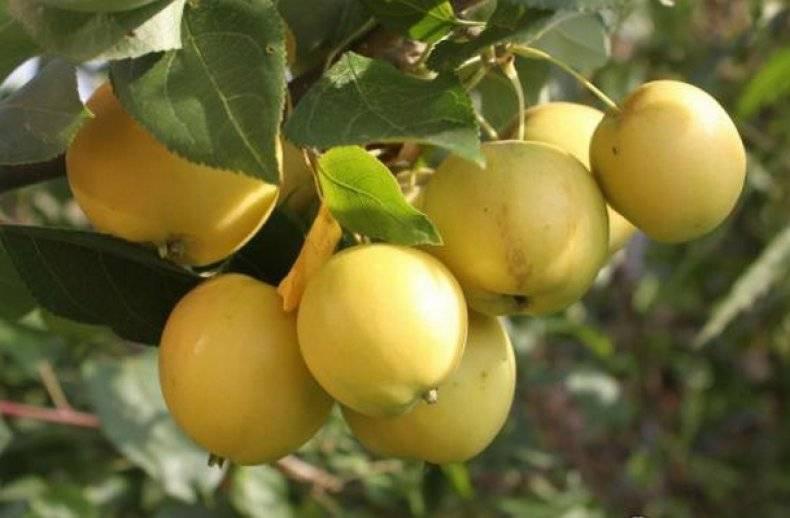 Яблоня уральское розовое: описание сорта, фото, отзывы, характеристика