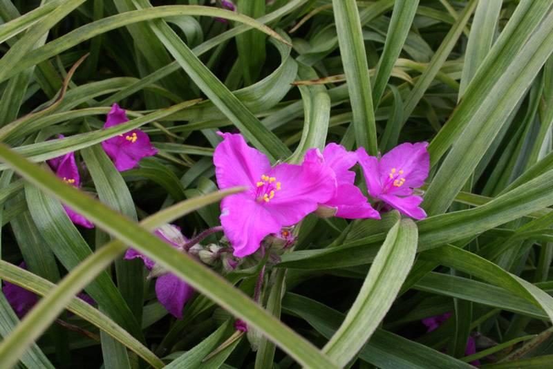 Традесканция – одно из самых распространённых комнатных растений. | floravdome.ru