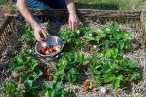 Уход за клубникой весной - простые правила для получения богатого урожая