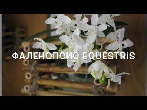 Орхидея фаленопсис (phalaenopsis). уход, цветение, размножение дома.   floplants. о комнатных растениях