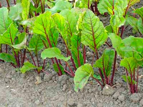 Правила прореживания корнеплодов. как прореживать свёклу, морковь, петрушку, редис? — ботаничка.ru