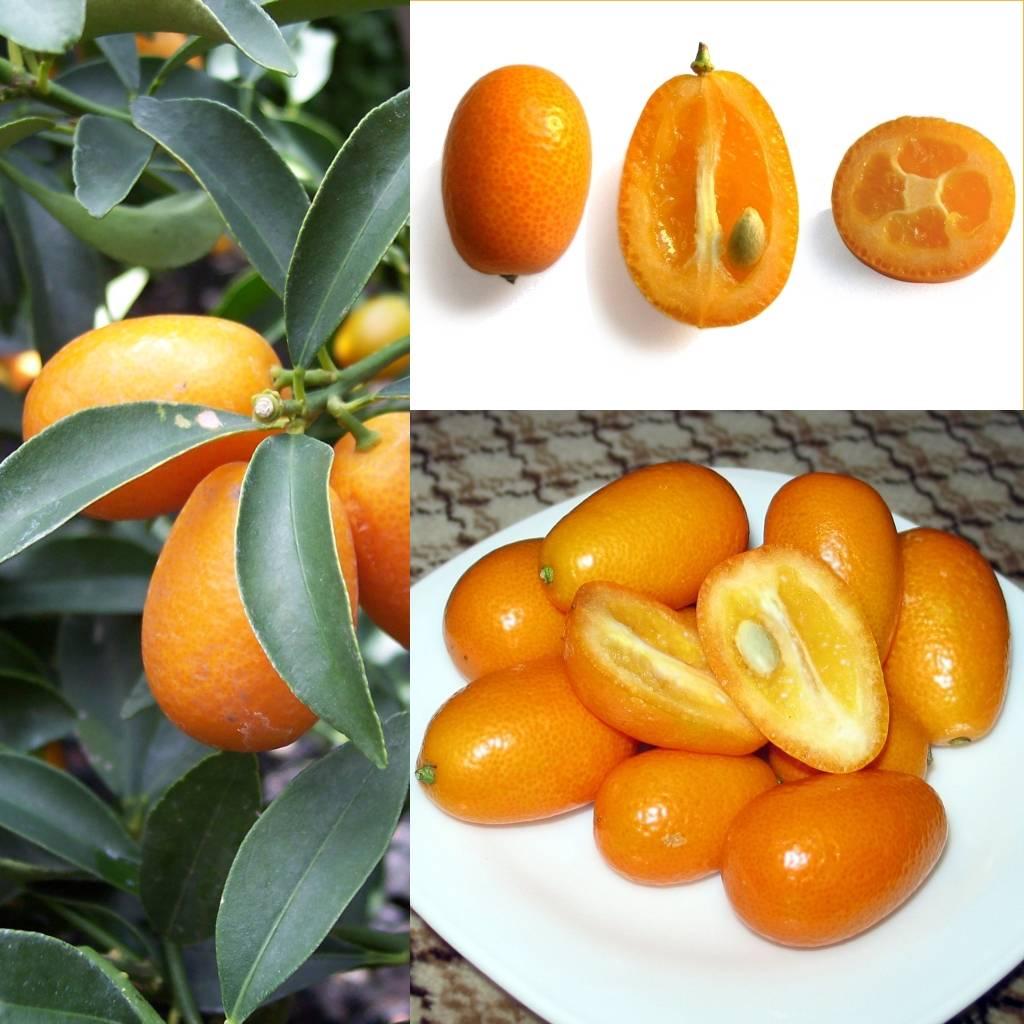 Гибрид мандарина: как называется смесь лимона и мандарина, азиатский лимандрин, что это такое, происхождение и полезные свойства