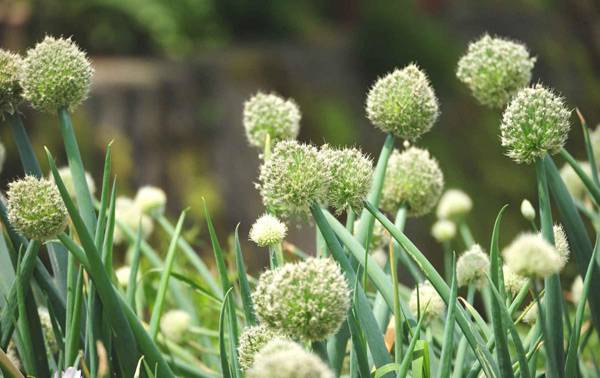 Многолетний лук: популярные сорта, выращивание и уход
