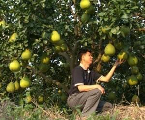 Помело (фрукт) — википедия. что такое помело (фрукт)