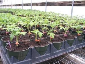 Желтеет рассада помидор - что делать и основные способы как спасти рассаду (115 фото и видео)