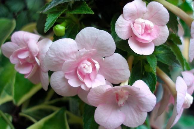 Цветок ахименес (achimenes)