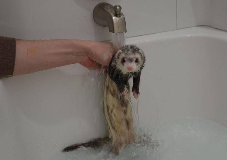 Каким шампунем мыть хорька: сухой, жидкий
