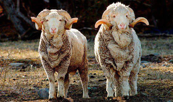 Овца меринос — особенности разведение и содержания