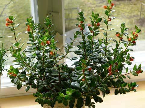 Гипоцирта фото, уход в домашних условиях, описание комнатного растения