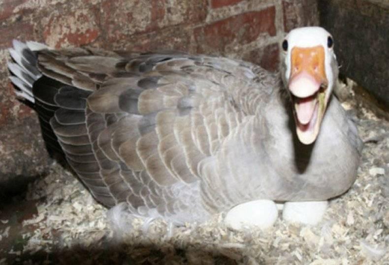 Сколько дней высиживает яйца гусыня до появления гусят