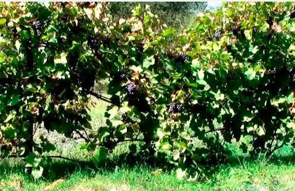 Изабелла — польза и вред винограда