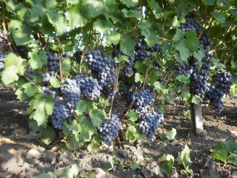 Виноград руслан - неповторимый букет удовольствия