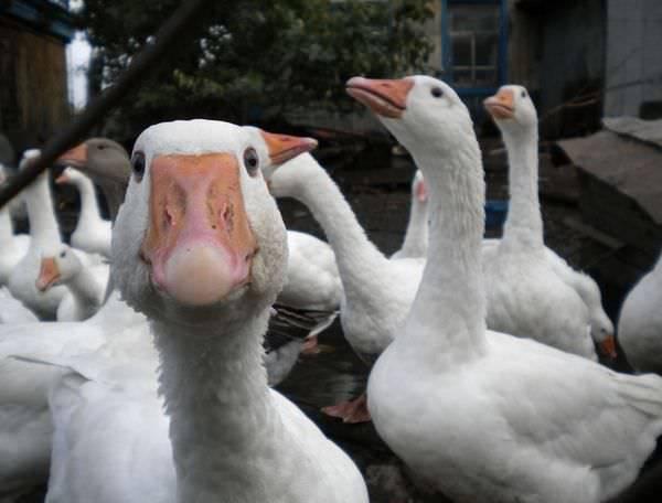 Много диких гусей
