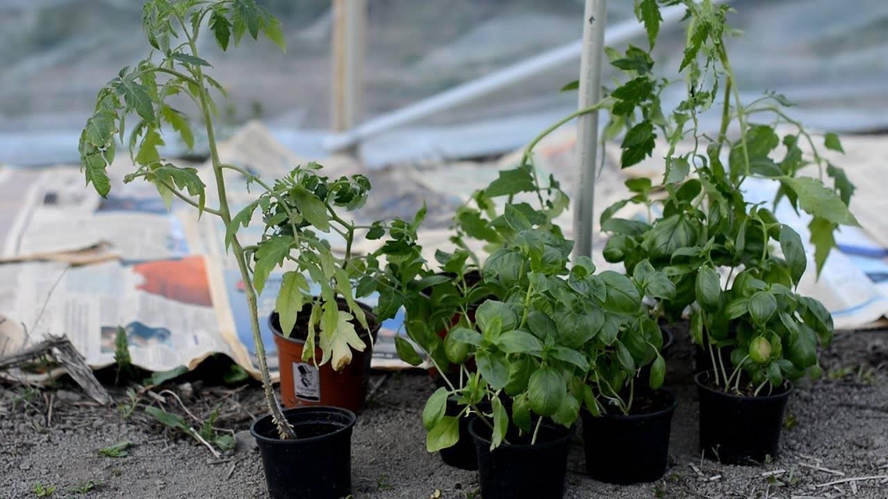 Выращивание томатов. кизима советует
