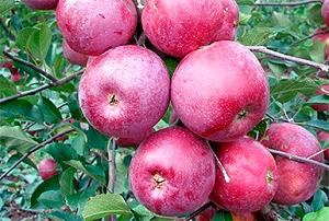Сорт яблок подарок графскому описание, фото, отзывы